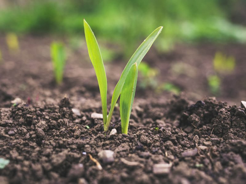 Green shoots growing from the soil