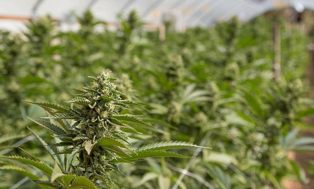 UK cannabis licence primes Ananda Developments for major growth